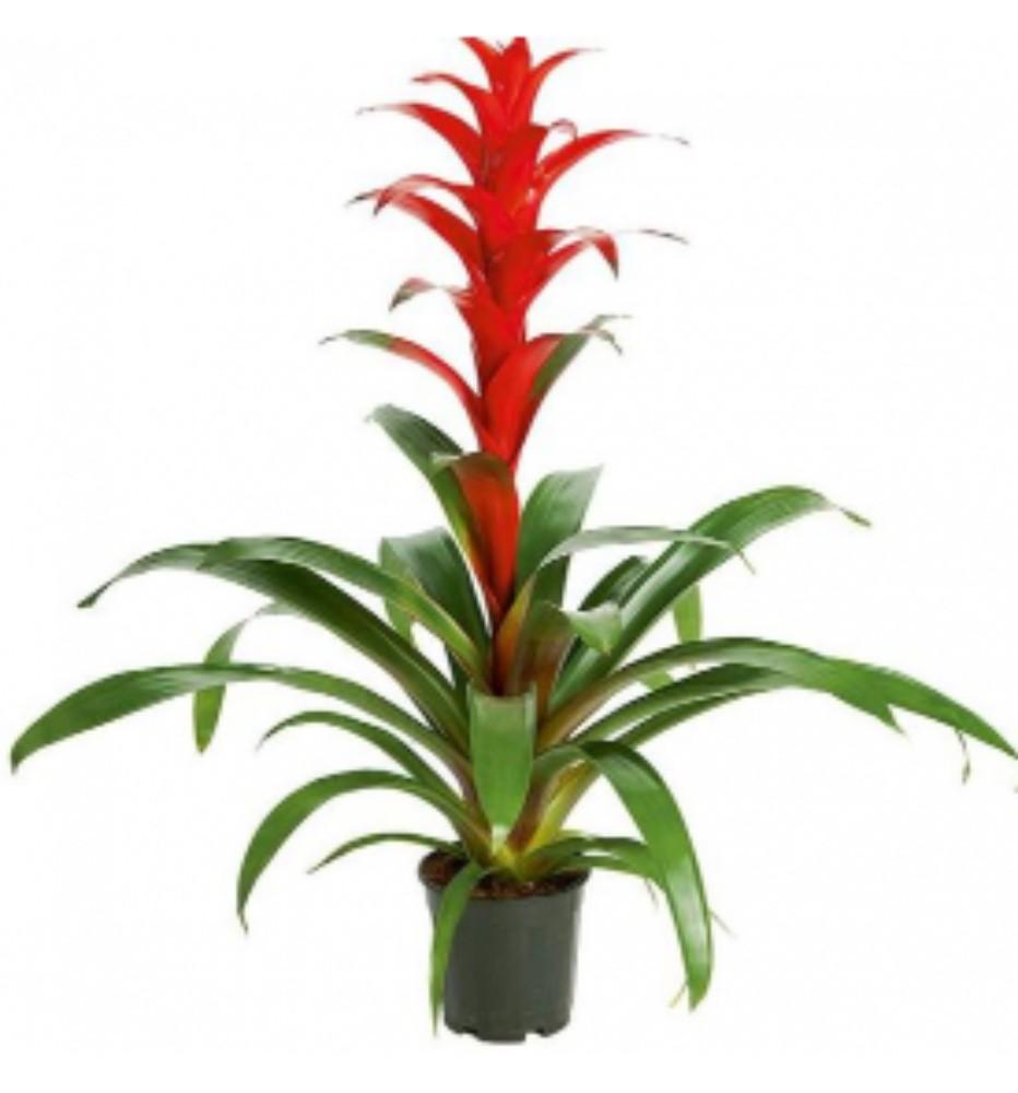 Guzmania - Colore Rosso - acquista su Lovisetto Garden ...