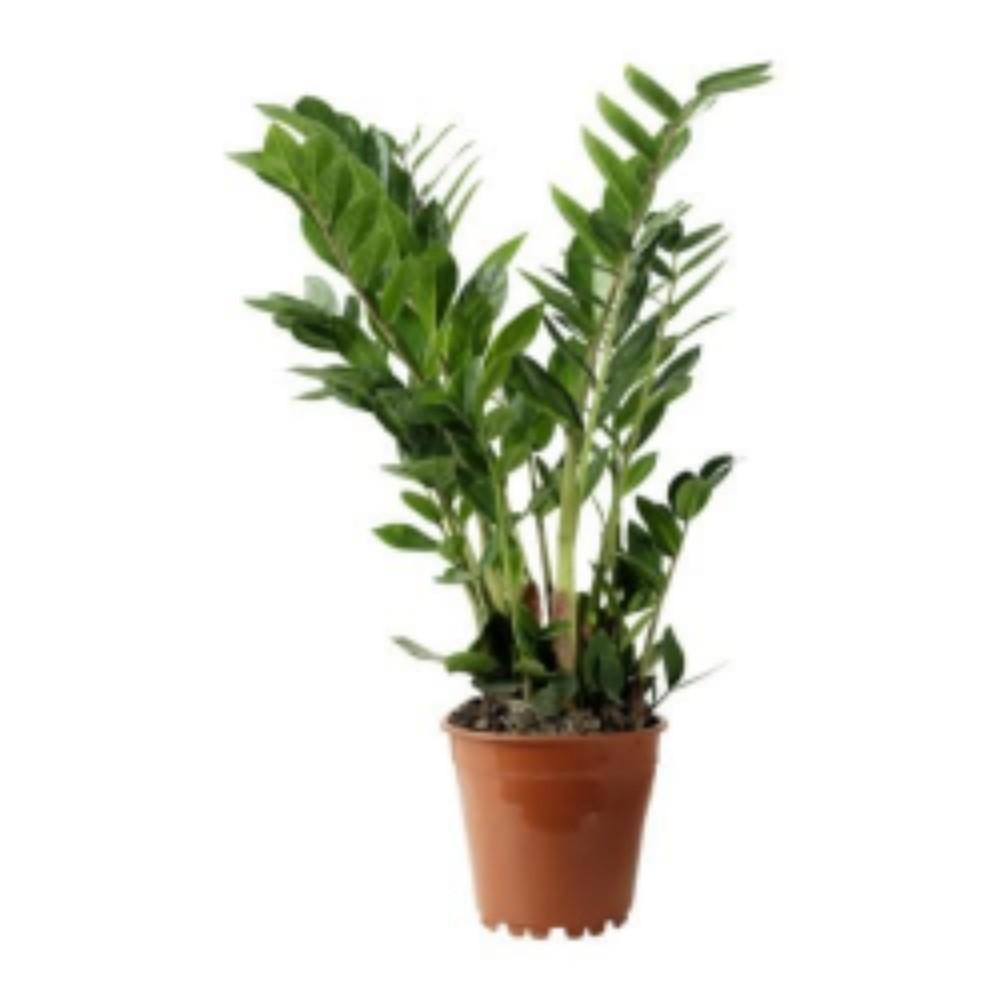 Zamioculcas - acquista su Lovisetto Garden - Piante da ...
