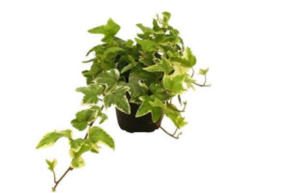 Edera piccola variegata - acquista su Lovisetto Garden ...